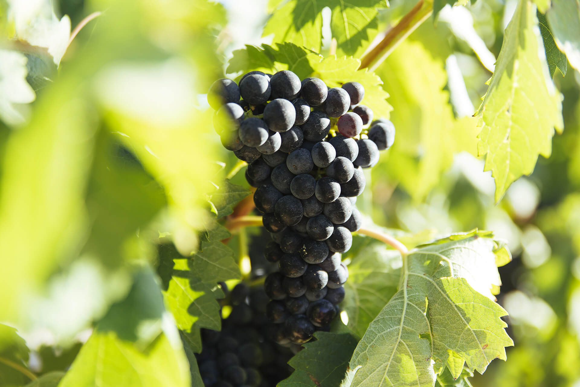 Ripening status report No. 4: closely monitor vineyards after rainfall